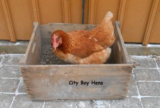 How to Make a Dust Bath For Chickens