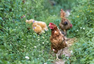 Can Chickens Eat Weeds in Your Garden?