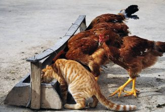 Cats + Chickens = Toxoplasmosis in Humans?