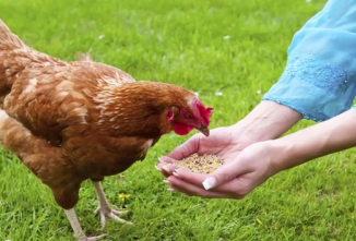 How Much Should I Feed My Chickens?