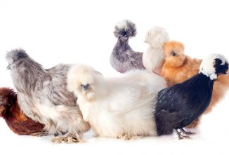 Small and Useful Bantam Chickens