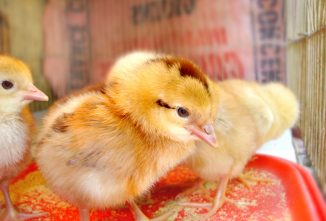Busting 7 Myths About Medicated Chick Starters
