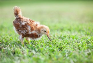 Treats for Baby Chicks Can Be Fun and Nutritious