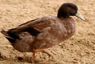 Khaki Campbell Duck Breed Spotlight