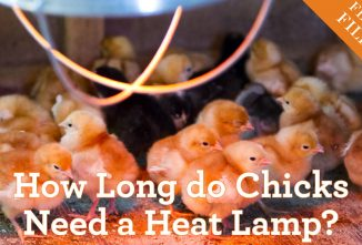 How Long do Chicks Need a Heat Lamp?