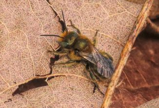 Exploring the Mason Bee Life Cycle